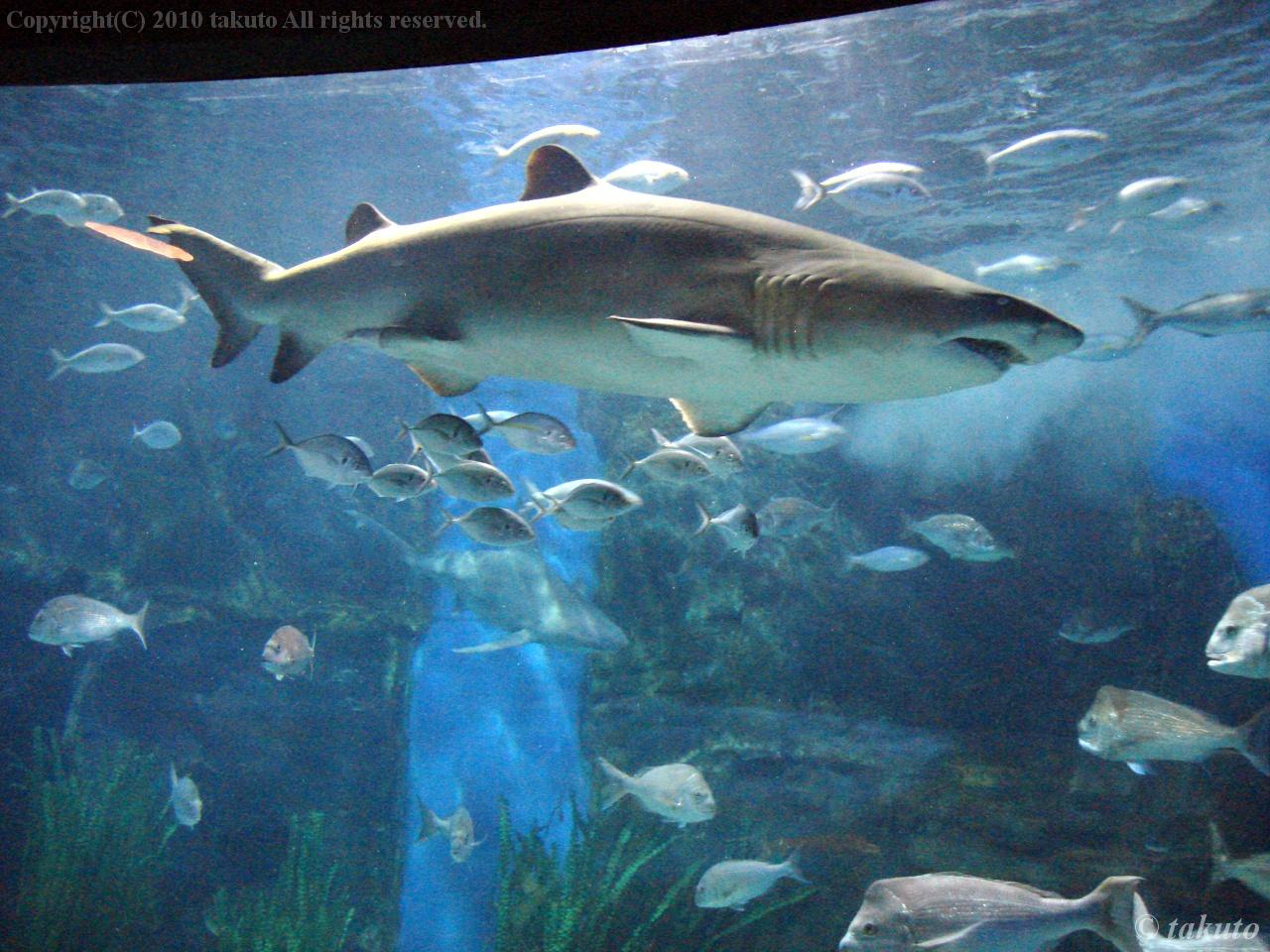サメが他の魚を食べないのは定期的にエサを与えられ、お腹一杯だから : 水族館に行ったら是非話した